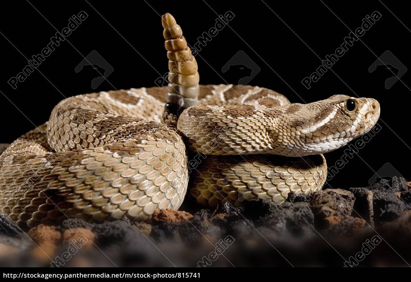 Stock Photo 815741 - crotalus scutulatus rattlesnake