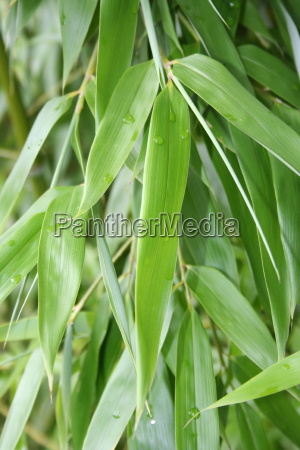 bamboo, leaves - 815379