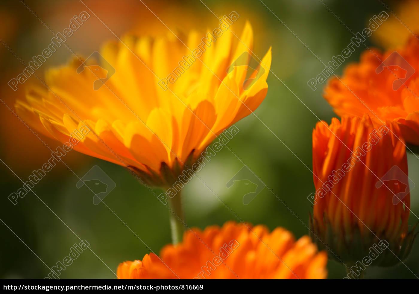 marigolds - 816669