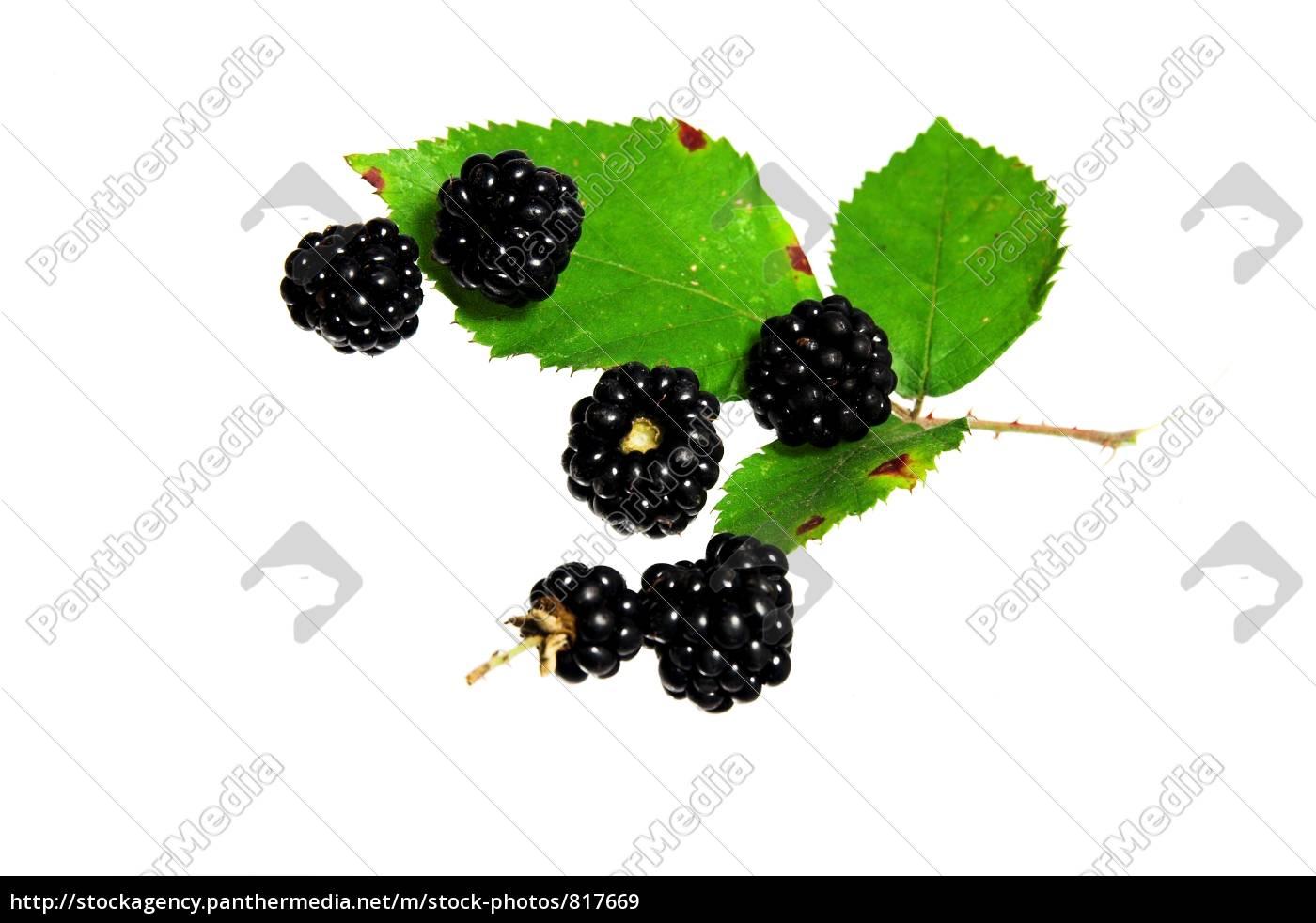 wild, blackberries - 817669