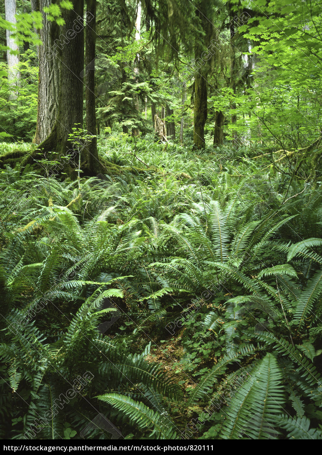 forest, with, fern - 820111