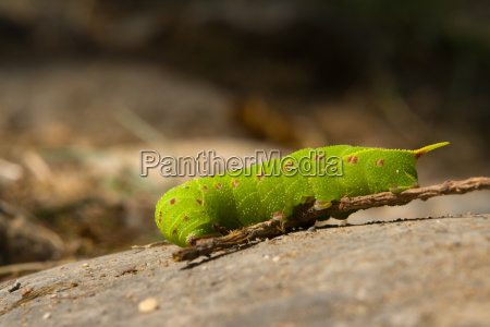 caterpillar of poplar hawkmoth laothoe popu
