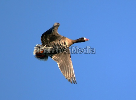 white fronted goose wildlife
