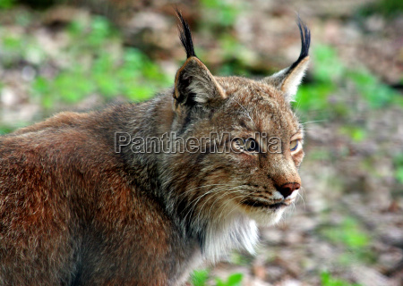 animal wild eye organ big cat