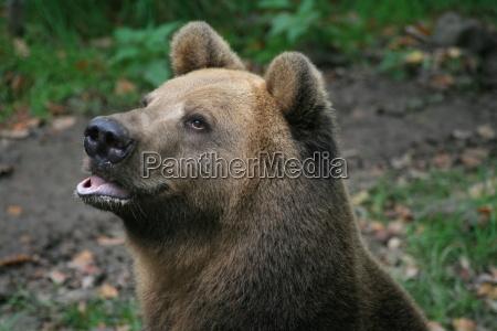 brown, bear - 851941