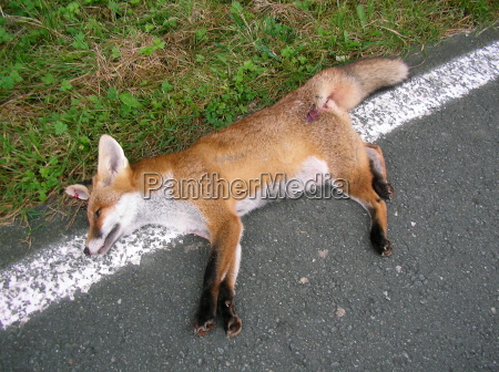 traffic victim fox