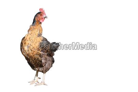 hen - 866819