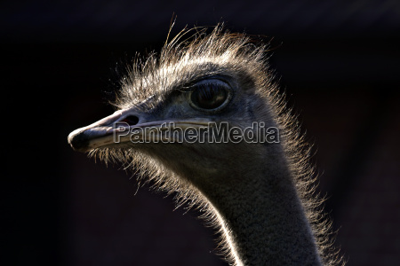 ostrich, head - 871531
