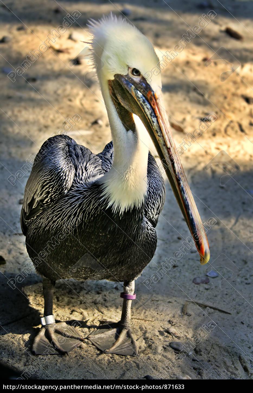 pelican - 871633