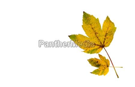 leaf colour green brown brownish brunette