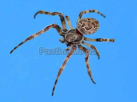 basket spider agalenatea redii