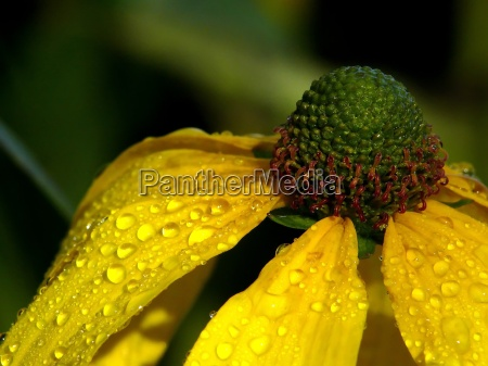 dew drops on the sunflower