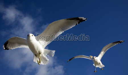 silver gulls during feeding
