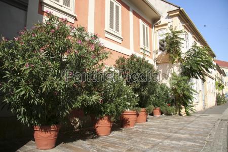 plant austrians flower flowers oleanders pots