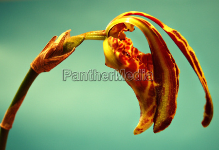psychopsis mariposa big