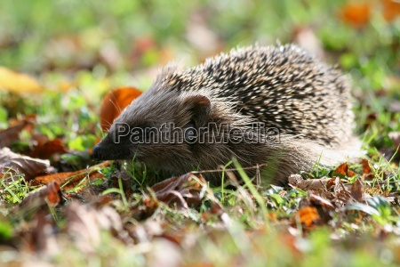 hedgehog with tick