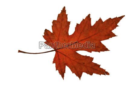 autumnal maple leaf