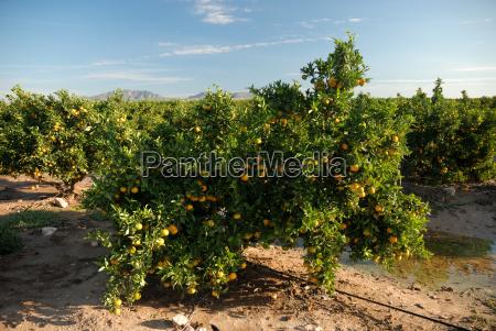 orange plantation in murcia spain