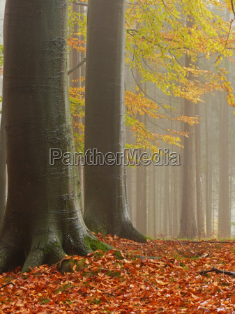 european beech forest fog