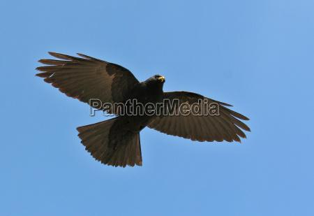 alpendohle in flight
