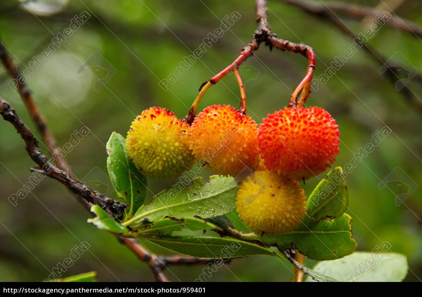 strawberry, tree, 03 - 959401