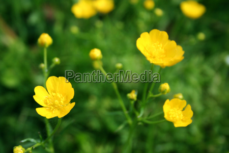 flower meadow with butterflowers