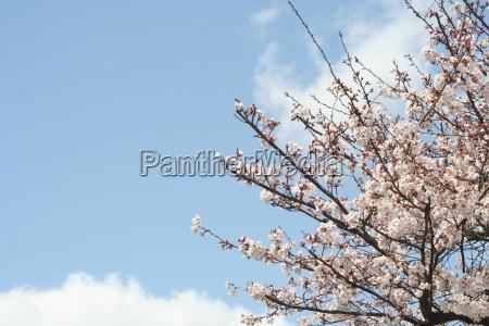 cherry, blossom, in, kyoto - 980229