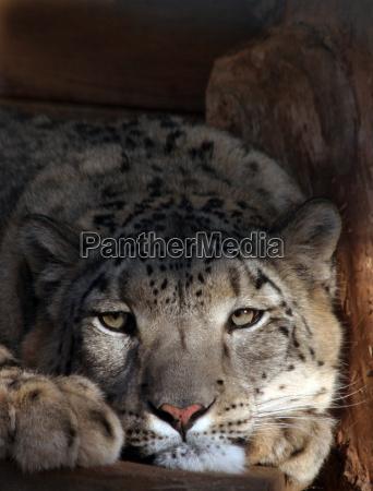 my puss a snow leopard