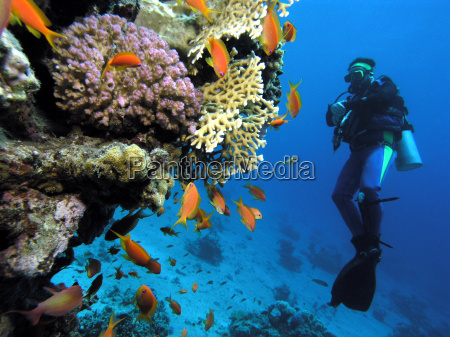 tilefish and diver on the reef