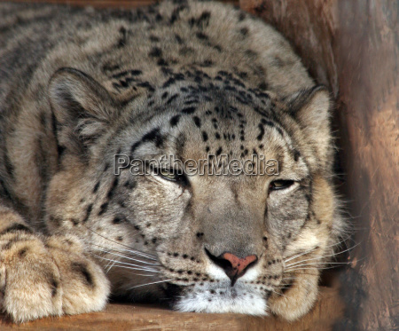 danger animal animals big cat feline
