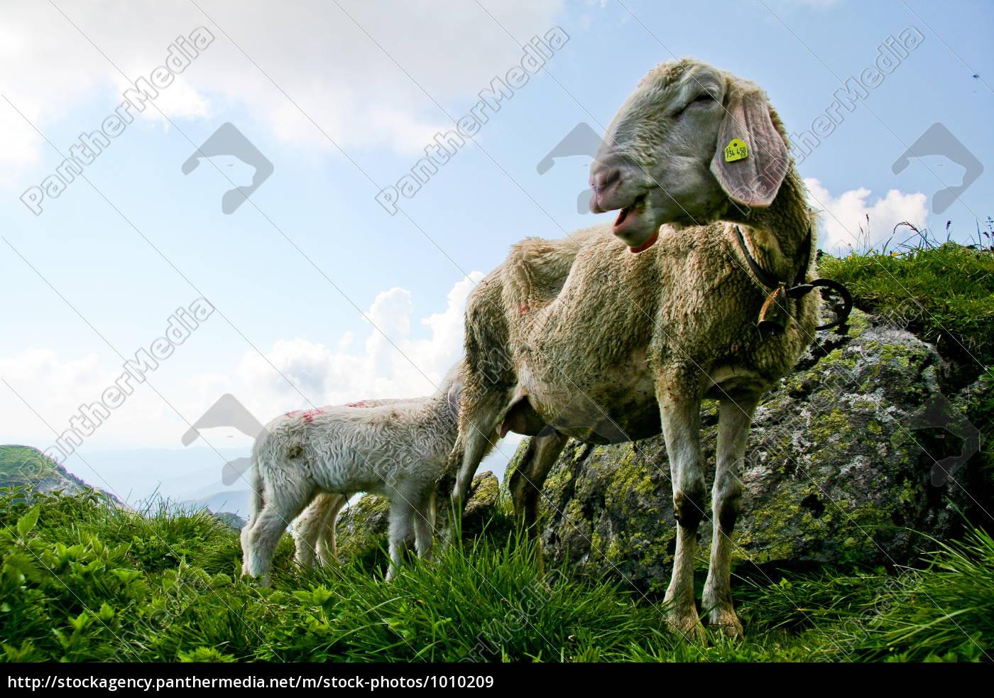 sheep - 1010209