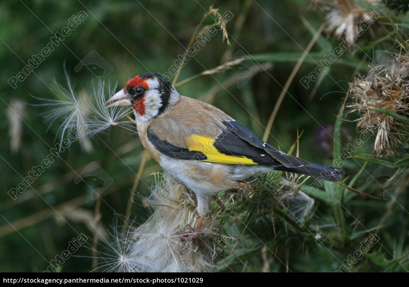 goldfinch - 1021029