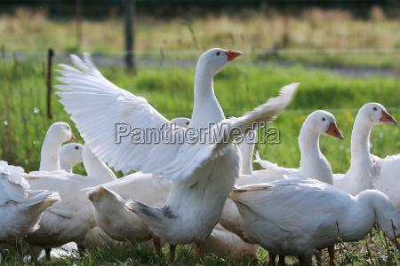 geese ties