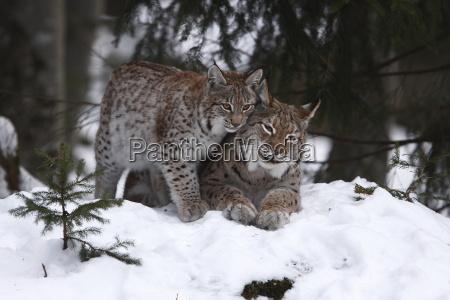 lynx with cub