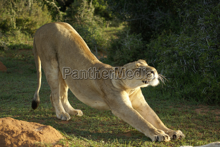 lioness stretches