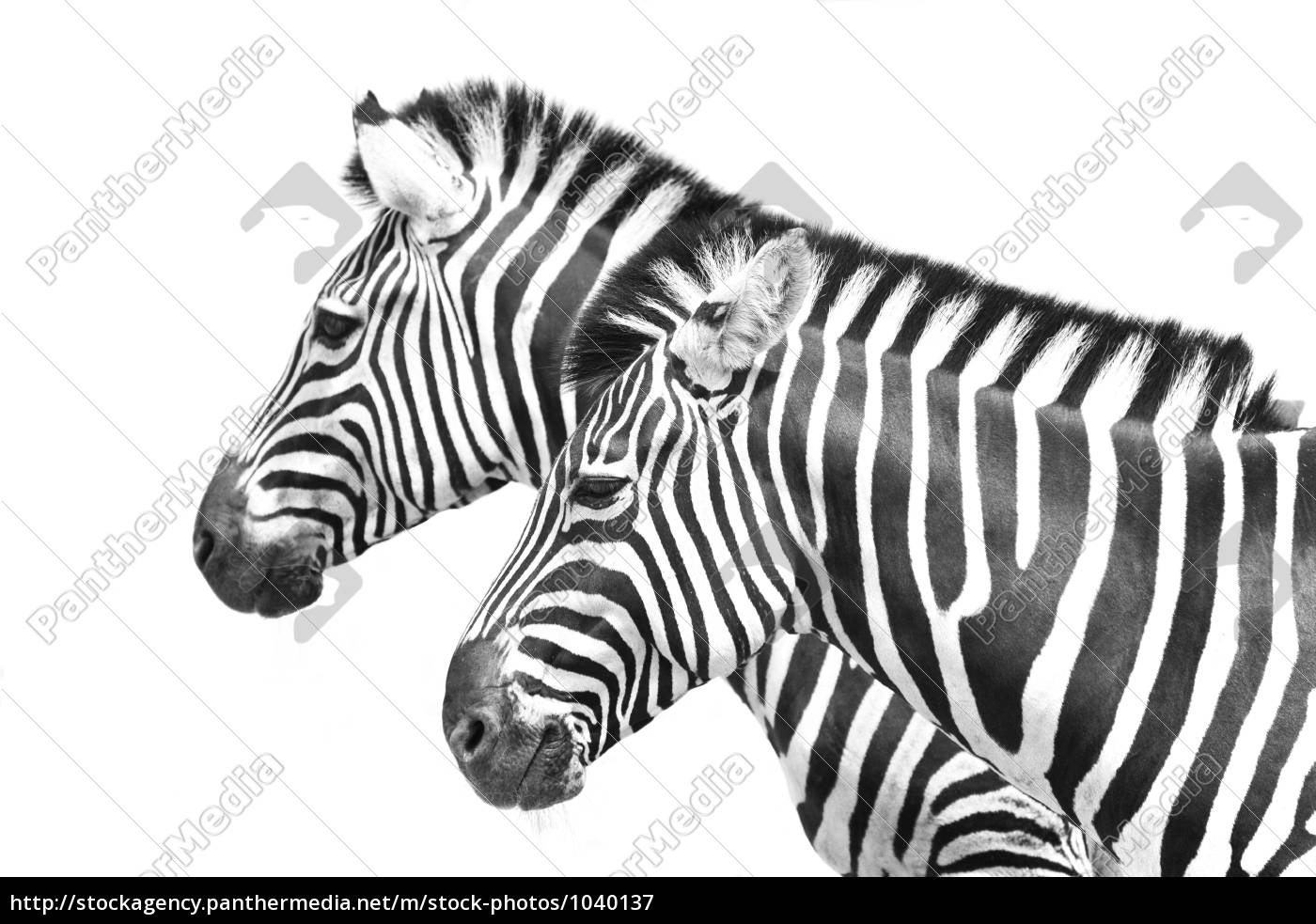 zebra, crossing - 1040137