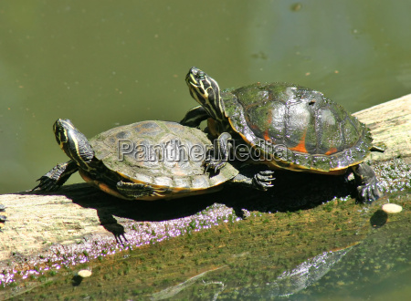 amorous turtles