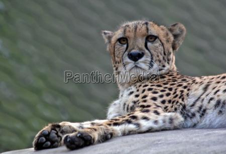 big cat feline predator predator cat