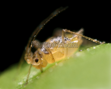 aphid 2