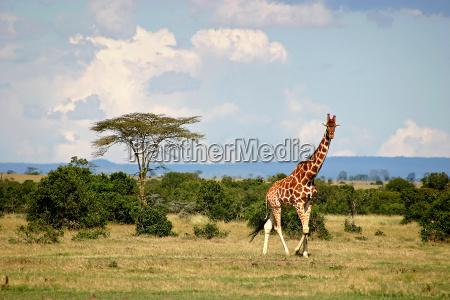 giraffe - 1058271