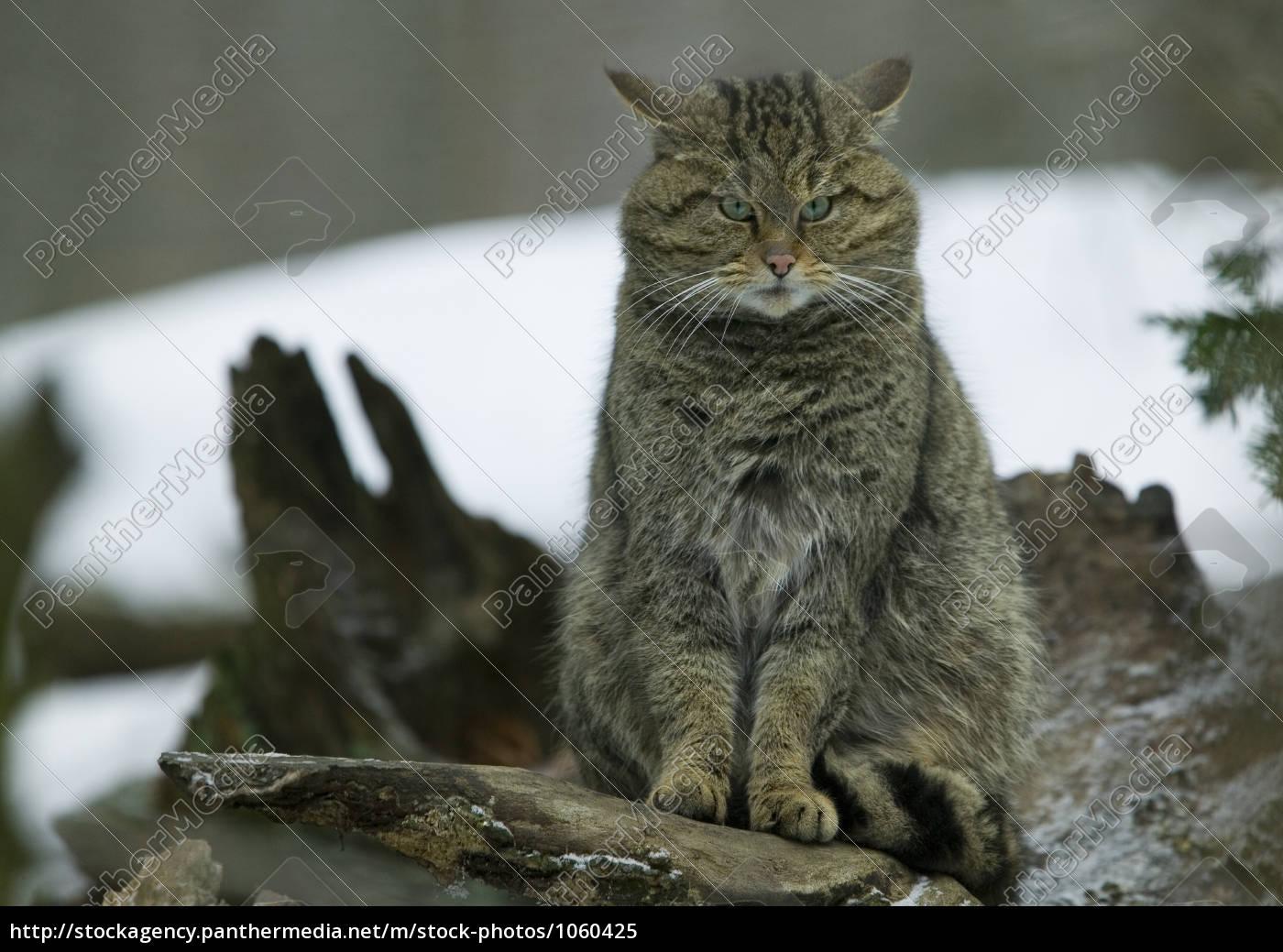 wildcat - 1060425
