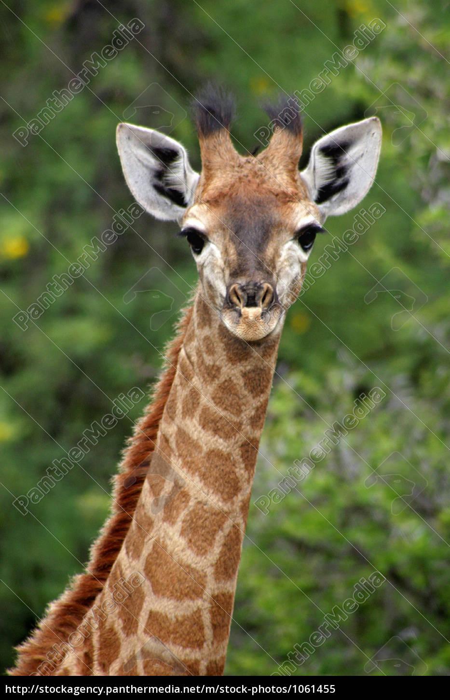 giraffenbaby - 1061455