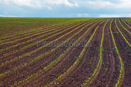 plant agriculture acre cultivation corn scenery