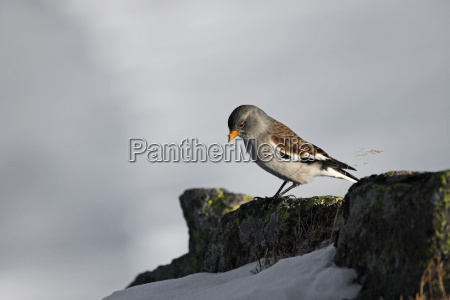 snow fink montifringilla nivalis