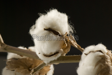 cotton - 1066275