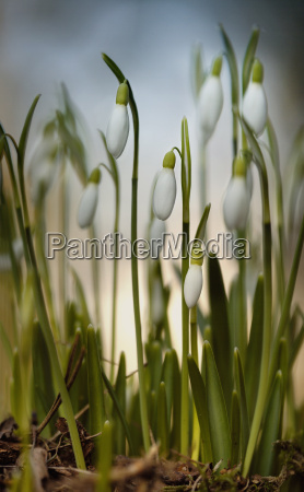 snowdrops, hf, from, 4, frames - 1077615