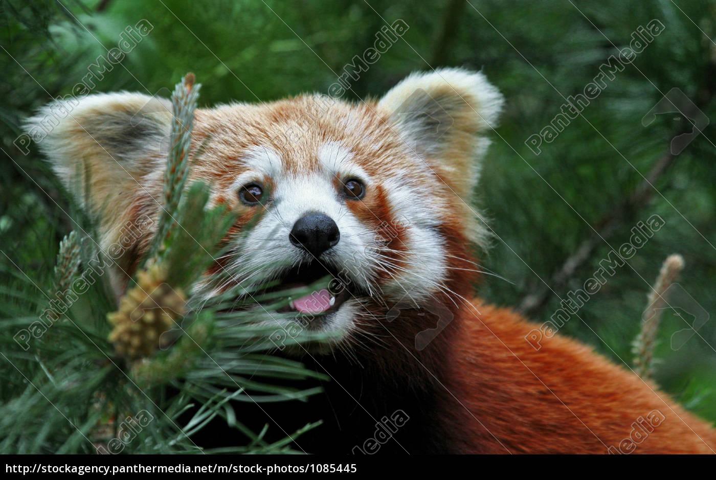 little, panda - 1085445