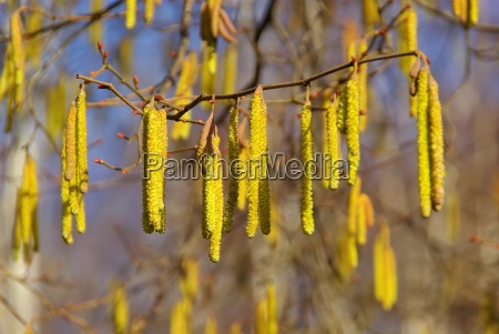 hazelnut tree 09