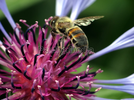 bee with cornflower