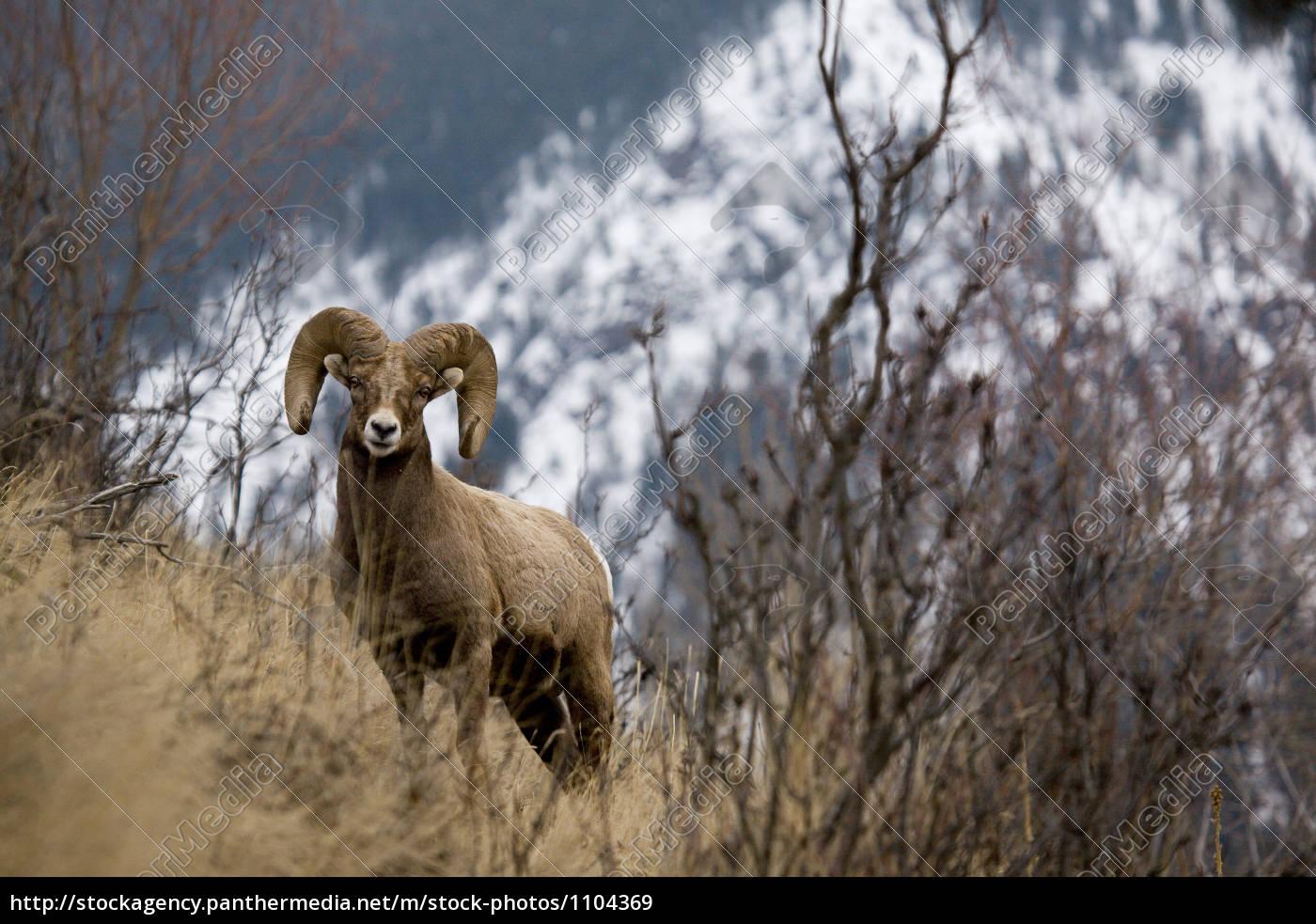 rocky, mountain, bighorn, sheep, - 1104369